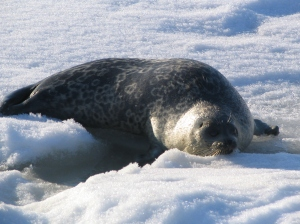 Ringed seal we captured and tagged in Barrow, AK spring 2008.